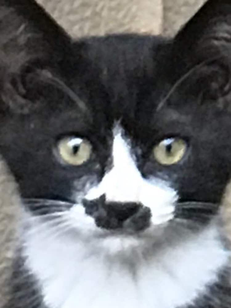 this-cat-has-a-mark-on-his-face-that-looks-just-like-a-tiny-cat-04
