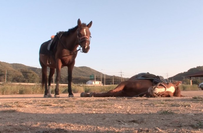 this-horse-pretends-to-be-dead-when-people-try-to-ride-him-and-he-s-so-dramatic-he-deserves-an-oscar-01-3