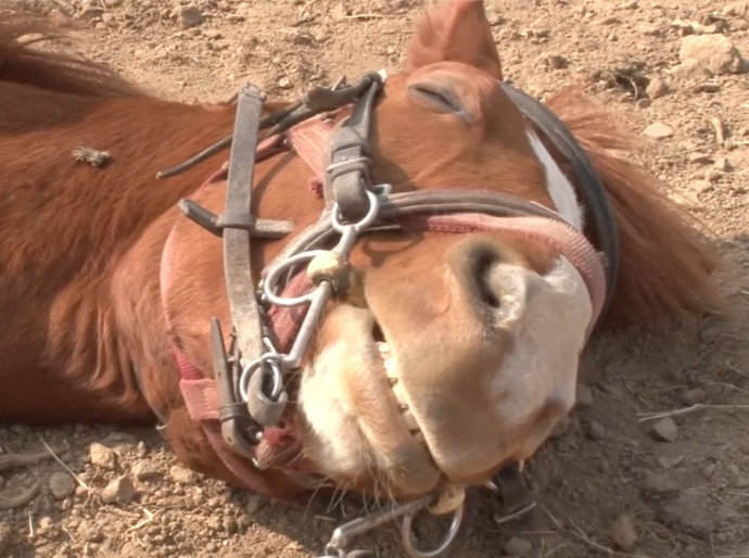 this-horse-pretends-to-be-dead-when-people-try-to-ride-him-and-he-s-so-dramatic-he-deserves-an-oscar-01-6