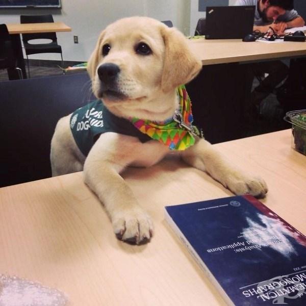 Това лабрадорче ще става куче водач
